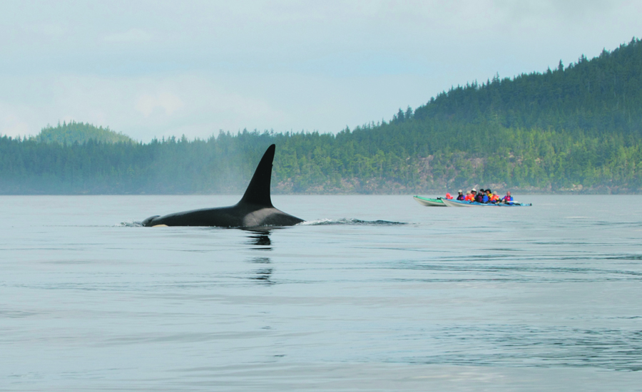 Orca and Kayakers - Photo by Winky