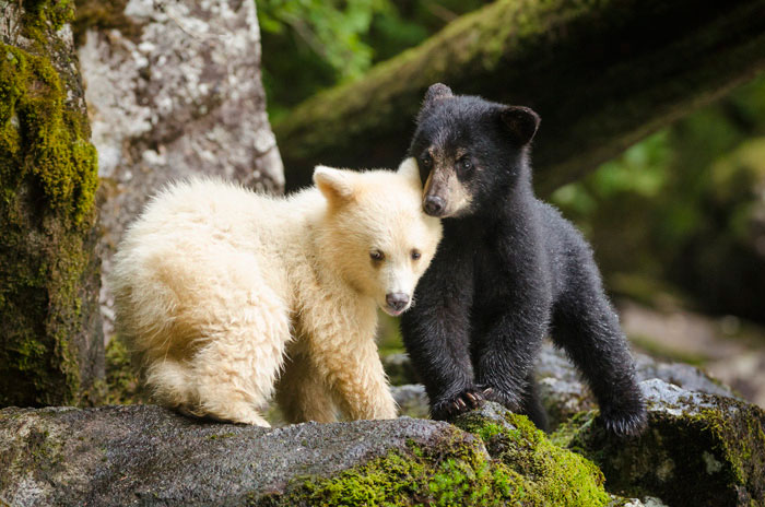 Black and White Bear Cubs in Forest - Photo by Ian McAllister
