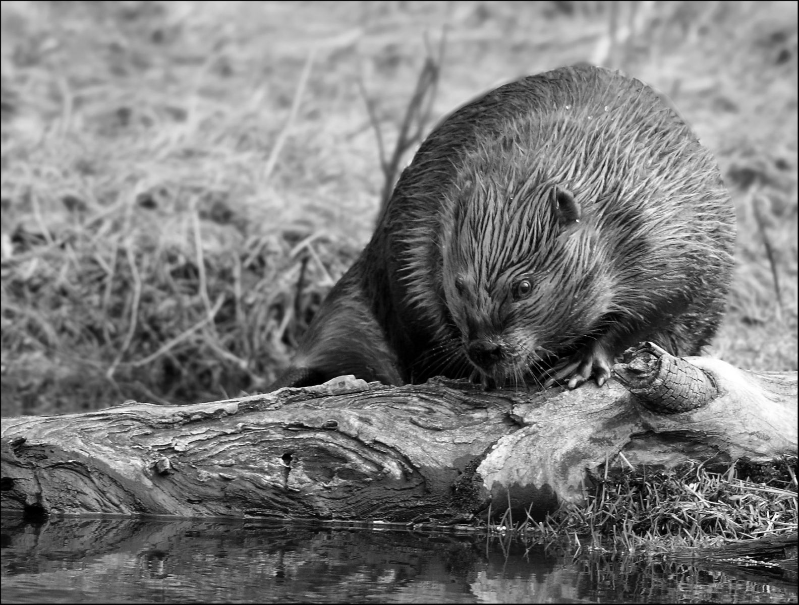 Beaver - Photo by Pat Gaines