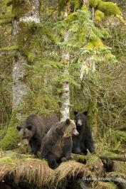 Grizzley bears in BC