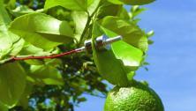 YaraZIM probe on leaf
