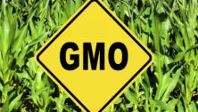 GMO sign in corn field