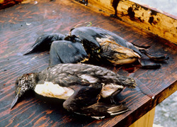 Dead birds covered in oil.