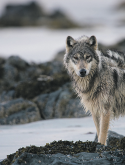 Wolf Photo by IanMcAllister