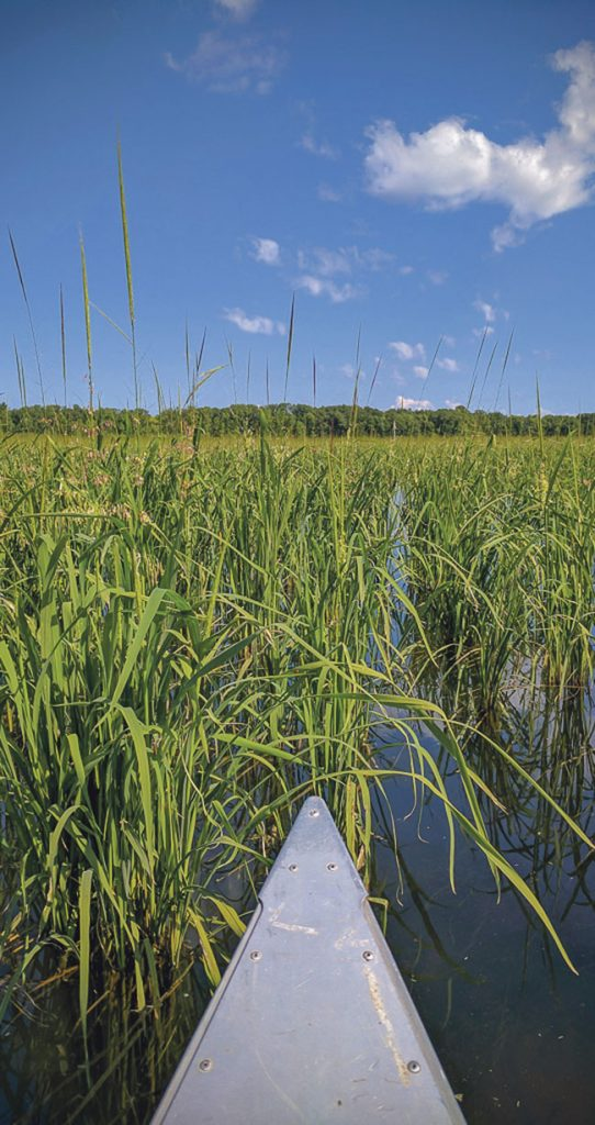 Wild rice | Photo: Brett Whaley | Land & Reconciliation
