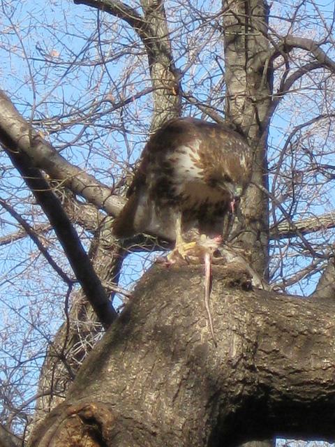 Tompkins Square hawk with rat