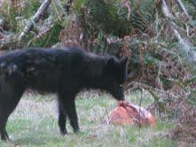 Cortes Island wolf investigating garbage