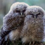Northern spotted owl (Strix occidentalis caurina) fledglings