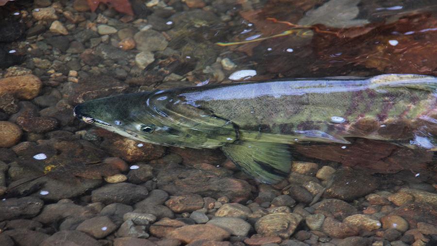 Salmon in the Brunette River