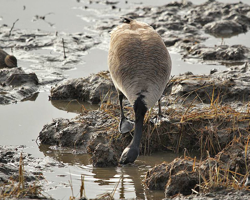 Goose digging for roots in marsh